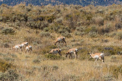 Pronghorn Antelope Herd During the Rut Stock Photography