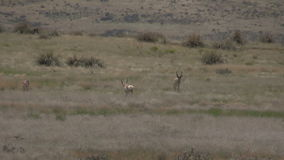 Pronghorn antelope herd in rut. A group of pronghorn antelope in the rut on the prairie stock video