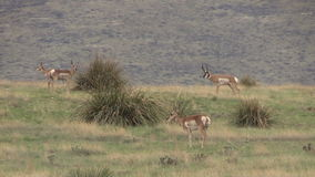 Pronghorn Antelope Herd in Rut stock video footage