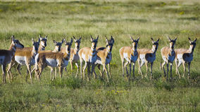 Pronghorn Antelope Herd Royalty Free Stock Photo