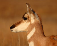Pronghorn Antelope In Late Winter Stock Images