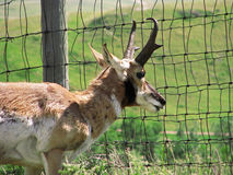 Pronghorn antelope looking through fence. A pronghorn antelope peers through a fence in the Black Hills of South Dakota Royalty Free Stock Photos