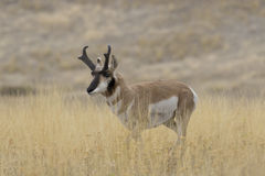 Pronghorn Antelope in Montana. Single pronghorn antelope stands in golden grasslands of National Bison Range of Montana, USA. Sanctuary created to protect Stock Image