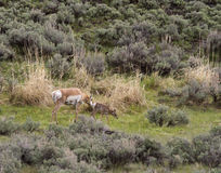 Pronghorn Antelope Nudging Her Baby Stock Photography