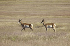 Pronghorn Antelope on the Prairie Stock Photo