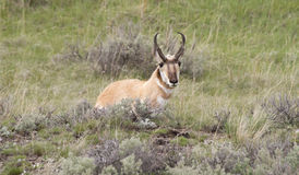 Pronghorn Antelope Resting in the Grass Stock Images