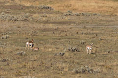 Pronghorn Antelope in the Rut Stock Image