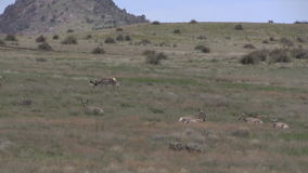 Pronghorn antelope in rut. A group of pronghorn antelope in the rut on the prairie stock footage