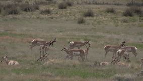 Pronghorn antelope during the rut. A group of pronghorn antelope in the rut on the prairie stock footage