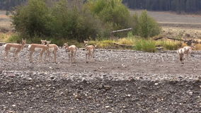Pronghorn Antelope in rut stock footage