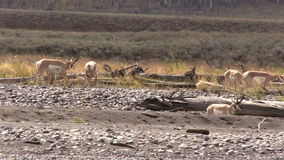 Pronghorn Antelope in rut stock footage