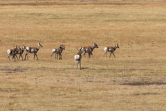 Pronghorn Antelope in Rut Royalty Free Stock Photography