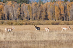 Pronghorn Antelope in Rut Stock Photography