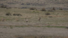 Pronghorn antelope rutting. A group of pronghorn antelope in the rut on the prairie stock video footage