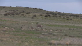 Pronghorn Antelope Rutting. A group of pronghorn antelope in the rut on the prairie stock footage
