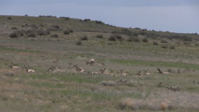 Pronghorn antelope rutting on the prairie. A group of pronghorn antelope in the rut on the prairie stock video footage