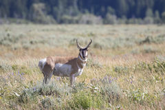 PRONGHORN ANTELOPE IN SAGEBRUSH MEADOW STOCK IMAGE stock photography