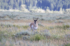 PRONGHORN ANTELOPE IN SAGEBRUSH MEADOW STOCK IMAGE royalty free stock photos