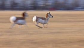 Pronghorn Antelope Saskatchewan Canada. Blurred panned motion Saskatchewan Stock Photography