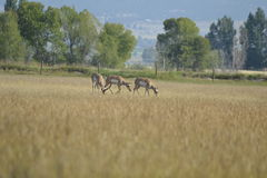 Pronghorn Antelope Royalty Free Stock Photo