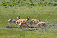 Pronghorn antelope sparring while other bucks watch Stock Image