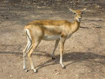 A pronghorn antelope staring towards the camera royalty free stock image