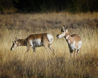 Pronghorn giving her herd-mate some information. Pronghorn antelope in the tall grass Grand Teton National Park, Wyoming, USA stock photography