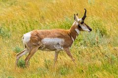 Pronghorn Antelope. Walking in a meadow in Wyoming royalty free stock photo