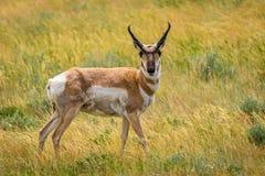 Pronghorn Anelope. Pronghorn antelope walking in a Wyoming meadow stock image