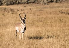 Pronghorn. A pronghorn antelope walks through a valley in Yellowstone National Park Royalty Free Stock Photography