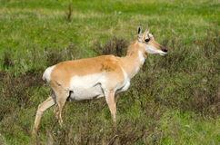 Pronghorn Antelope. Yellowstone National Park Stock Photography