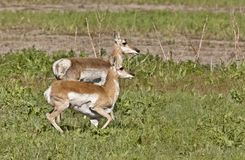 Pronghorn Antelope With Young Royalty Free Stock Photo