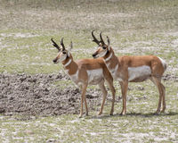 Pronghorn antelopes. Two pronghorn antelopes in Yellowstone National Park stock photo