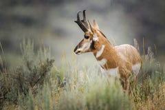 Pronghorn (Antilocapra αμερικανικό) Στοκ Εικόνες