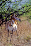 Pronghorn, Antilocapra americana Stock Image