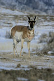 Pronghorn, Antilocapra americana Photos stock