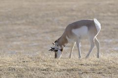 Pronghorn,males, grazing in snow Stock Photos