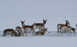 Pronghorn in Winter Wyoming-Colorado Border. Pronghorn Antilocapra americana migrating through the snow along the Wyoming - Colorado border Royalty Free Stock Image