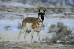 Pronghorn, Antilocapra americana Stock Images