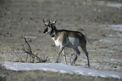 Pronghorn, Antilocapra americana Stock Photos