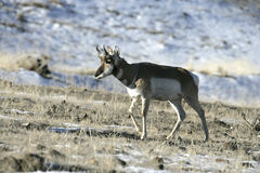 Pronghorn, Antilocapra americana Stock Photo