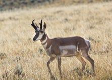 Pronghorn antilop Royaltyfria Bilder