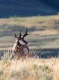 Pronghorn antilop Royaltyfri Foto