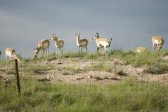 Pronghorn antilop (den americana antilocapraen) Arkivfoton