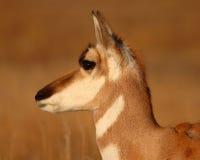 Pronghorn antilop i sen vinter arkivbilder