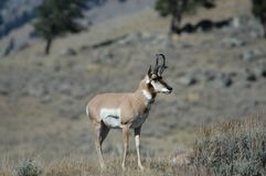 Pronghorn Antilope Stockfotos