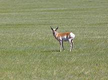 Pronghorn Antilope Stockfotografie