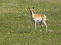 Pronghorn Antilope Stockbild