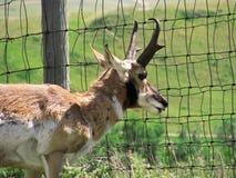 Pronghorn-Antilope, die durch Zaun schaut lizenzfreie stockfotos