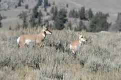 Pronghorn Antilope mit einem Schätzchen Stockfoto